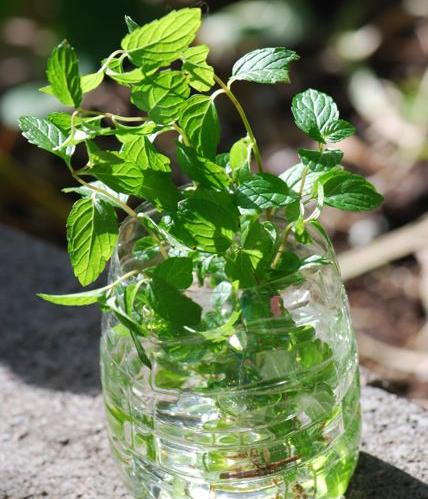 Plastic Bottle Repurposed for Herbs